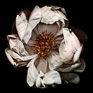 A pink peony genus Paeonia against a black background.