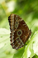 Tropical Butterfly, Uknown species, Mindo, Ecuador