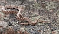 Night Snake, Hypsiglena torquata deserticola, Okanagan, BC, Canada
