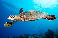 A hawksbill turtle Eretmochely imbricata, swimming over a reef, Felidhu Atoll, Maldives.
