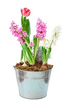 Spring hyacinth in flower pot isolated