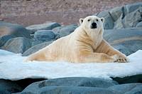Landlocked polar bear Ursus maritimus, Svalbard Archipelago, Norwegian Arctic
