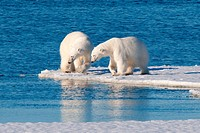Adult polar bears Ursus maritimus interacting, Svabard Archipelago, Norwegian Arctic