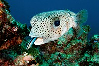 A porcupine pufferfish Diodon hystrix, or spot_fin porcupinefish, being cleaned by a bluestreak cleaner wrasse Labroides dimidiatus, South Ari Atoll, ...