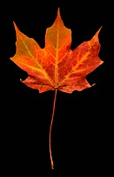 Orange Maple Leaf on Black Background