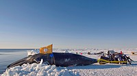 Residents of a Inupiaq Village Help Pull Up a Bowhead Whale Catch