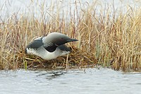 Pacific Loon, Gavia pacifica, displaying their breeding rituals on a pond near Churchill Manitoba, Canada.