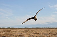 Parasitic Jaeger, Arctic Skua, flying over the tundra near Churchill Manitoba, Canada.