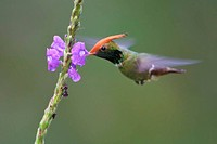 Rufous_crested Coquette Lophornis delattrei flying while feeding at a flower in Peru.