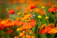 Sneezeweed / Helenium with bee