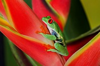 Red_eyed Tree Frog Agalychnis callidryas making direct eye contact while holding onto colorful tropical flower. Native to Central America.
