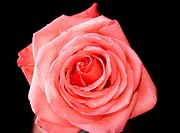 Rose on black background _ Closeup