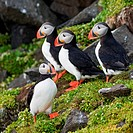 A group of adult Atlantic puffins Fratercula arctica rest on a cliff in Sassenfjorden in summertime, Svalbard archipelago, Norway.