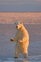 Polar Bear Cub Standing on the Pack Ice