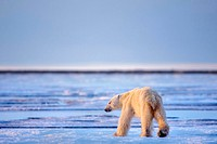 Hungry and Thin Polar Bear in Search of Food