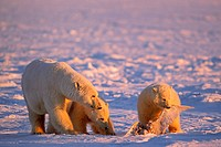 Polar Bear Sow with Cubs, One with Seagull