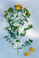 St. John´s wort, a very popular medicinal herb.