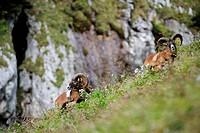 Mouflon, Ovis musimon, Vorderes Sonnwendjoch, Rofan range, Brandenberg Alps, Tyrol, Austria