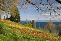 Flower meadow with tulips, Lake Constance and the Alps in the background, Mainau Island, Lake Constance, Baden_Wuerttemberg, Germany, Europe