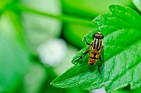 Flower files or Fruit flies in green nature