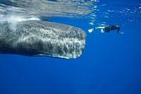 Sperm Whale and Skin diver, Physeter macrocephalus, Caribbean Sea, Dominica, Leeward Antilles, Lesser Antilles, Antilles, Carribean, West Indies, Cent...