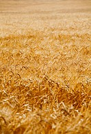 organic background from a golden wheat before harvesting
