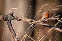 European Robin Erithacus rubecula perched on a branch