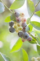 Blueberries on Leafy Branch