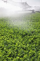 Irrigating celery crop at Happisburgh Norfolk september
