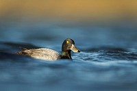 Greater Scaup Aythya marila adult male, breeding plumage, swimming, Iceland, June