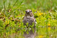Hawfinch Coccothraustes coccothraustes juvenile, bathing in water, Gabarevo, Stara Zagora Province, Bulgaria, June