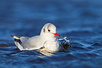 Black_headed Gull Larus ridibundus adult, winter plumage, swimming, Salthouse, Norfolk, England, February