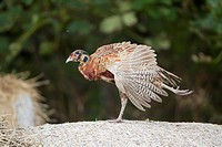 FHR-03400-00588-842 Common Pheasant Phasianus colchicus immature male stretching wing and leg standing on straw bale Suffolk England August