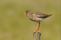 Common Redshank Tringa totanus adult, breeding plumage, calling, standing on fencepost, Iceland, June
