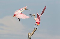 Roseate Spoonbill Ajaia ajaja two adults, fighting over position on dead tree, High Island, Bolivar Peninsula, Galveston County, Texas, U S A , april