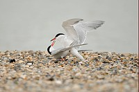 Arctic Tern Sterna paradisea adult pair, mating on shingle beach, Netherlands, May