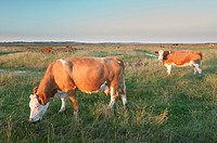 FHR-10230-00976-668 Domestic Cattle beef crossbreed cows feeding on coastal grazing marsh habitat Elmley Marshes National Nature Reserve Isle of Shepp.....
