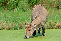 Nilgai, male, Keoladeo Ghana national park, Rajasthan, India / Boselaphus tragocamelus / Blue Bull