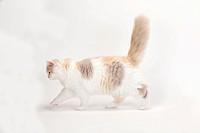 British Longhair Cat, kitten, lilac_tortie_white, 4 months / Highlander, Lowlander, Britanica