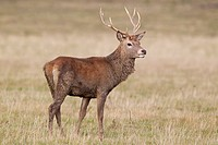 FHR-10298-01015-842 Red Deer Cervus elaphus young stag muddy from wallowing standing in grassland during rutting season Minsmere RSPB Reserve Suffolk .....