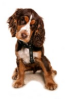 Domestic Dog, Cocker Spaniel, puppy, sitting, wearing harness