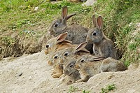 European Rabbit Oryctolagus cuniculus seven juveniles, resting at burrow entrance, Fetlar, Shetland Islands, Scotland, June