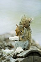 Eastern Grey Squirrel Sciurus carolinensis adult, feeding on fungi, Brazos Bend State Park, Texas, U S A , april