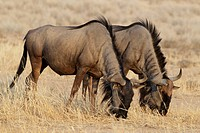 FHR-11272-00649-123 Blue Wildebeest Connochaetus taurinus two adults feeding grazing on dry grass Kgalagadi Transfrontier Park Kalahari Gemsbok N P  N.....