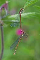 Large Red Damselfly Pyrrhosoma nymphula adult pair, male holding female with abdomen prior to mating, River Whiteadder, Berwickshire, Scottish Borders...