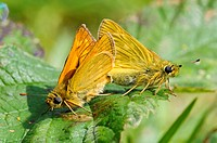 Large Skipper Ochlodes venatus adult pair, mating on bramble leaf, Ivinghoe Beacon, Chiltern Hills, Buckinghamshire, England, June