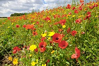 Corn Poppy Papaver rhoeas and Corn Marigold Chrysanthemum segetum flowering mass, growing on arable headland, Norfolk, England, july