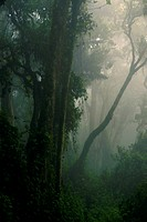 FHR-81040-00141-832 Interior of misty tropical montane forest habitat Nyungwe Forest N P  Albertine Rift Rwanda october