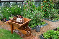 Small vegetable garden after rain shower, with wooden wheelbarrow, raised beds of runner beans, broad beans and salad crops, England, july