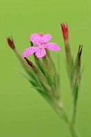 Deptford Pink, North Rhine_Westphalia, Germany / Dianthus armeria / Grass Pink